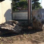 欅と屋久杉の丸太